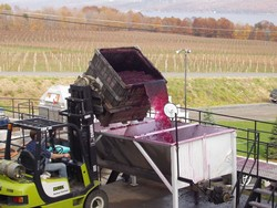 Grape Harvest - Wine Making at Glenora Wine Cellars