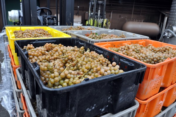 Frozen Vidal grapes in bins, waiting to be pressed into Iced Wine.