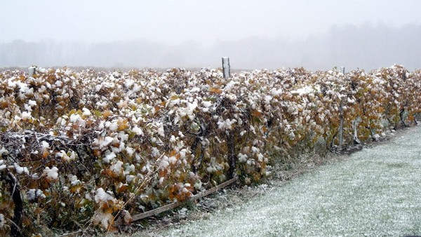 A snow covered vineyard after our first squall of the season.