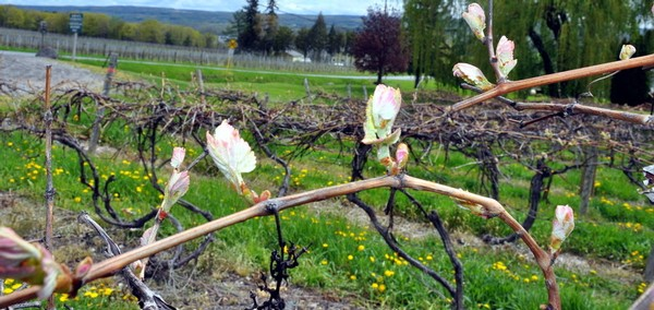 Vines budding