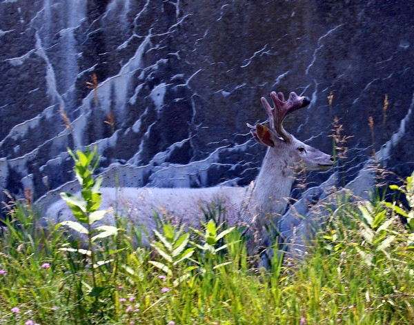 A Seneca white deer, captured among flowers and tall weeds